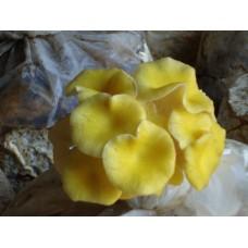pleurotus citrineplatus