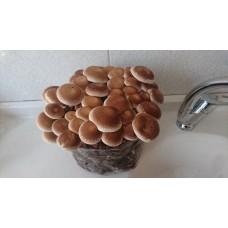 Shiitake Mantarı (Lentinus edodes) Hobi Üretim Kiti