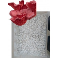 pleurotus djamor miseli (Tohum) 1 kg(TALAŞA sardırılmış)